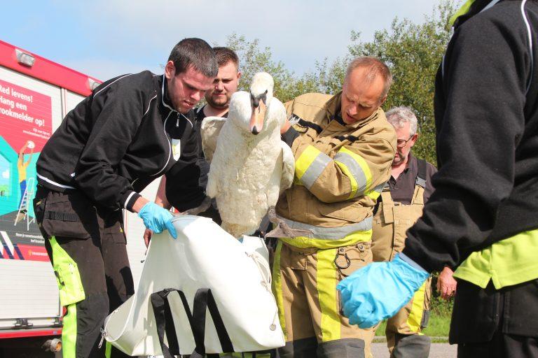 Verzwakte zwaan uit het riet geredt door de brandweer en dierenambulance bij Drachten